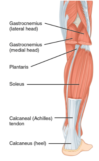 diagram of muscles of leg