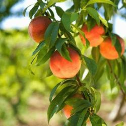 'Harvester' Peach