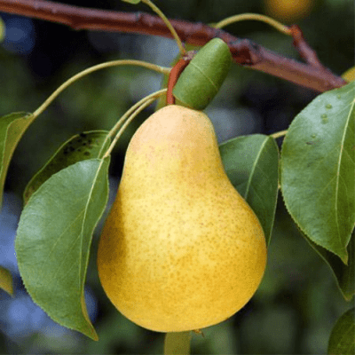'Kieffer' Pear