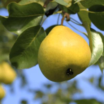 'Orient' Pear