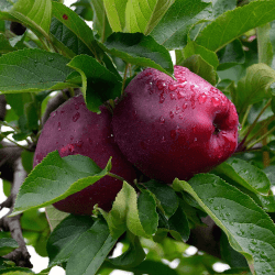 'Red Delicious' Apple
