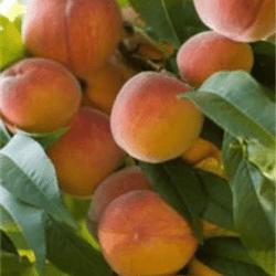 'Scarlet Prince' Peach
