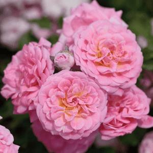 Sweet Pink Drift Rose