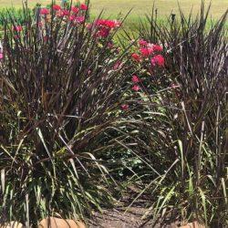 Napier Grass