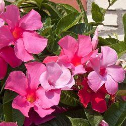 Mandevilla 'Giant Pink'