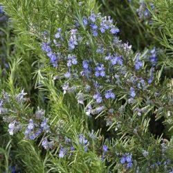 Tuscan Blue Rosemary