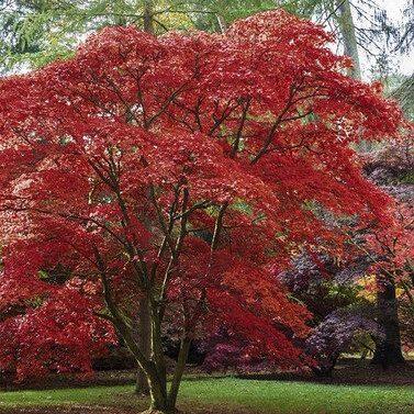 Emperor Tree