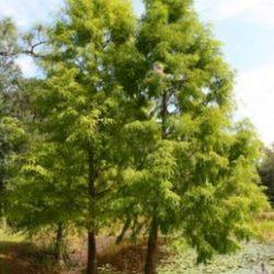 Pond Cypress