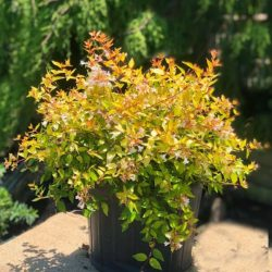 'Canyon Creek' Abelia