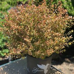 'Twist of Orange' Abelia