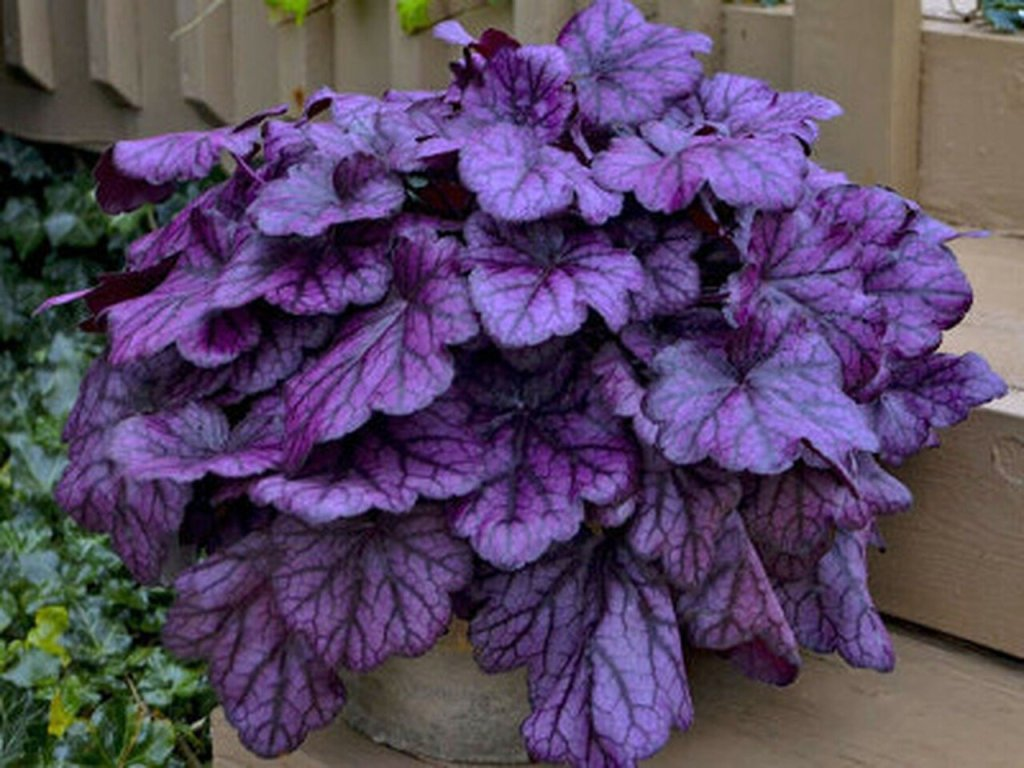 """Coral Bells"" or Heuchera"