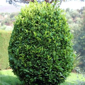 Bay Laurel Tree 'Sweet'