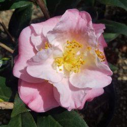 Camellia 'Junior Miss'