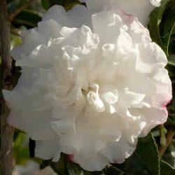 Camellia Sasanqua 'October Magic Snow'