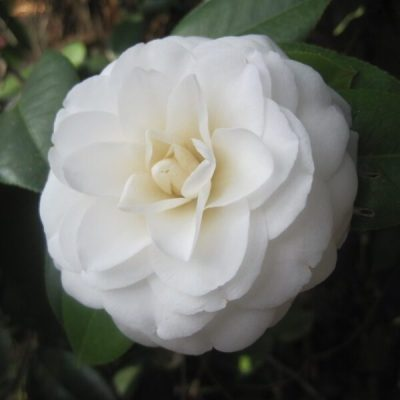 Camellia 'White by the Gate'