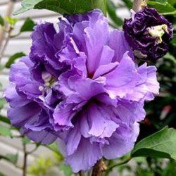'Double Purple' Althea