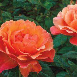 Floribunda Rose 'Living Easy'