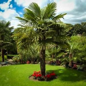 Palm 'Windmill'