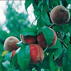 'Indian Red Cling' Peach