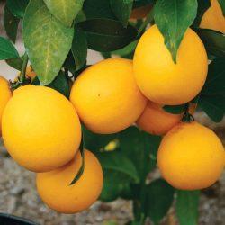'Improved Meyer's' Lemon