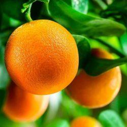 'Washington' Navel Orange
