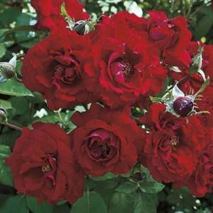 Floribunda Rose 'Oh My'