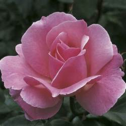 Grandiflora Rose 'Queen Elizabeth'