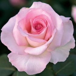 Hybrid Tea Rose 'Memorial Day'