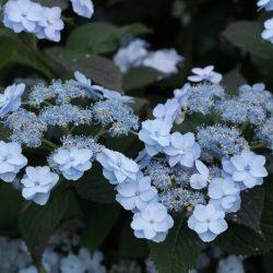 Hydrangea 'Tiny Tuff Stuff'