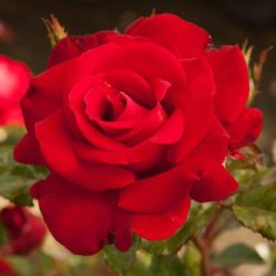 Rose Floribunda 'Drop Dead Red'