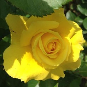 'Sunsprite' Floribunda Rose