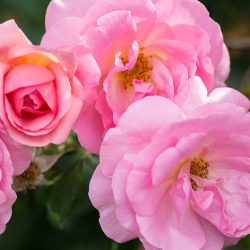 Peachy Knock Out Rose