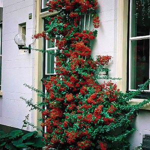 Victory Pyracantha