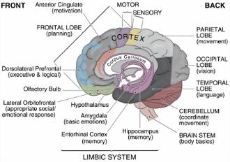 limbic_system