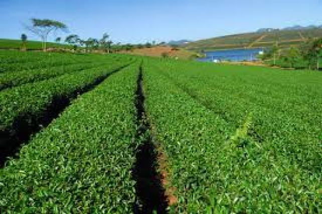 Tại Việt NamCây trà xanh được trồng nhiều ở các tỉnh Phú Thọ, Tuyên Quang, Hà Giang, Thái Nguyên, Quảng Nam, Quảng Ngãi, Bình Định, Đắk Lắk, Lâm Đồng…
