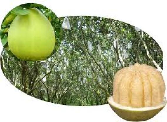 Cây bưởi Năm Roi được trồng nhiều nhất là ở Phú Hữu, Châu Thành, Hậu Giang và Bình Minh, Vĩnh Long.