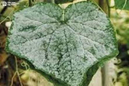 Trên bề mặt lá cây dưa leo bị hại có lớp nấm bệnh trắng.