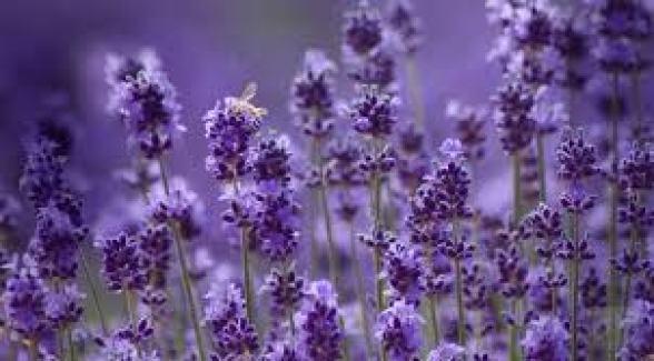 Hoa oải hương được biết đến với hương thơm dễ chịu và màu sắc không quá sặc sỡ.