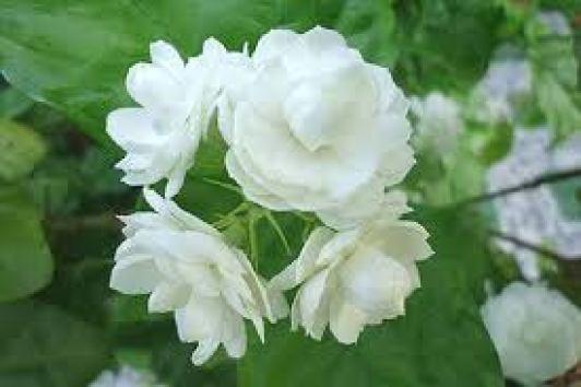 Hoa Lài cho hoa màu trắng tinh khiết và rất thơm.
