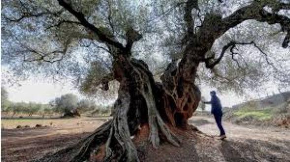 Ôliu là cây gỗ thuộc họ Nhài, cao 10-25m, sống hàng trăm năm