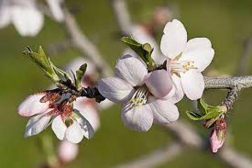 Cây Hạnh Nhân có dáng đẹp, người ta thường gặp trong nghệ thuật trồng bonsai.