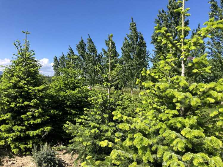 Where to buy Christmas trees in Geneva 2020