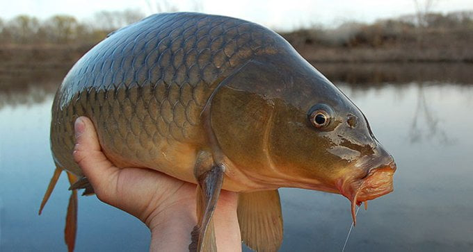 Why Carp Is Trend On Twitter ?