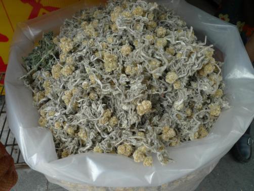 曬乾的鼠麴草。