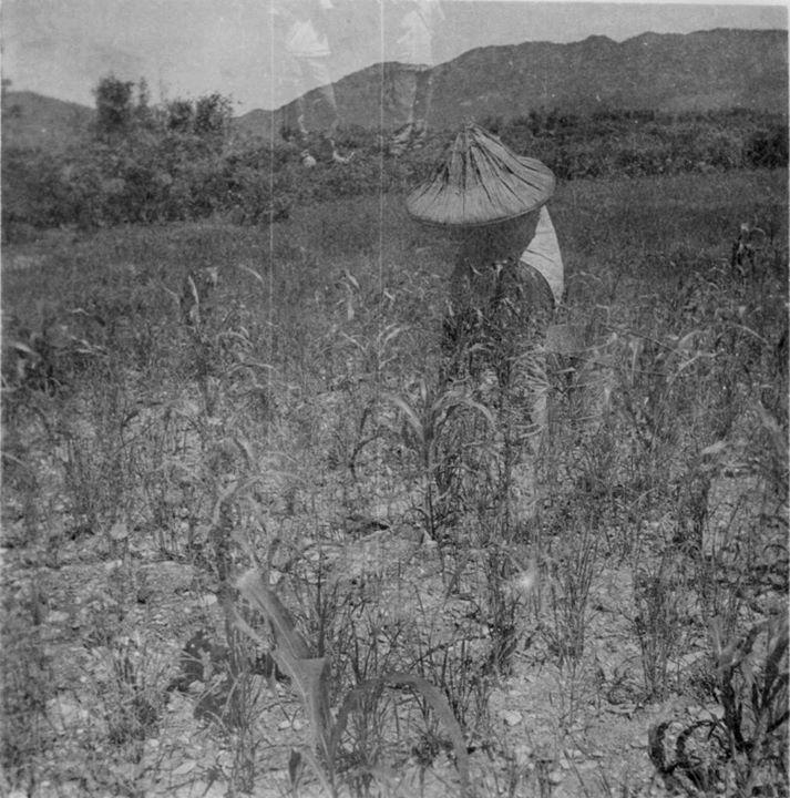 種植旱稻場景。圖片來源:數位典藏與數位學習聯合目錄