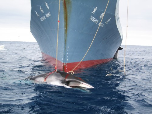 A whale is captured by the Yushin Maru