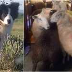Border Collie Puppy Herds Sheep Into Kitchen Video Think About Now