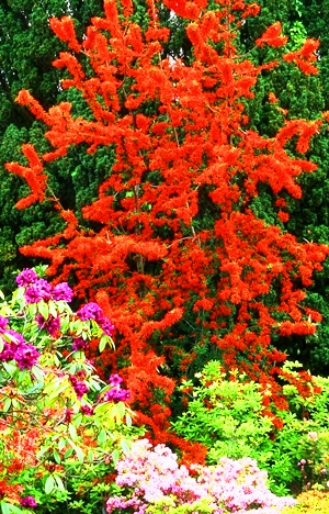 Bodnant Rhododendrons copyright Charles Hawes for thinkingardens, Veddw Monmouthshire, South Wales gardens