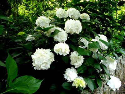 Hydrangea Immaculata copyright Abbie Jury for thinkingardens, editor Anne Wareham, Veddw,