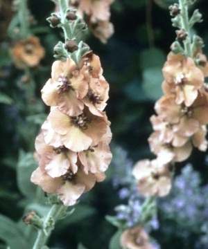 Verbascum_'Helen_Johnson' copyright Lucy Masters for thinkingardens